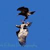 Bald Eagle (129)