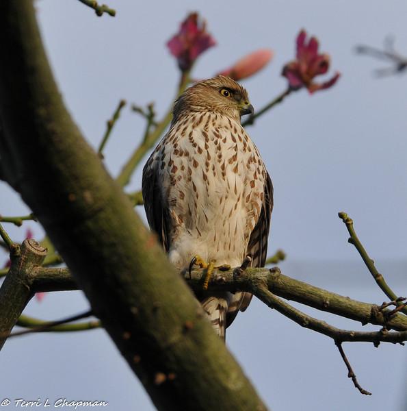 Cooper's Hawk (juvenile) in my backyard