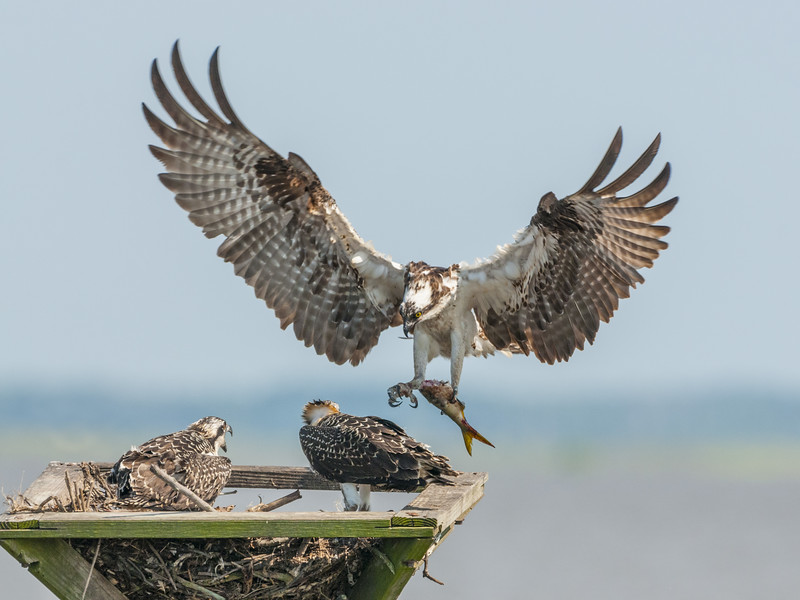 Osprey Mother Landing with a Fish