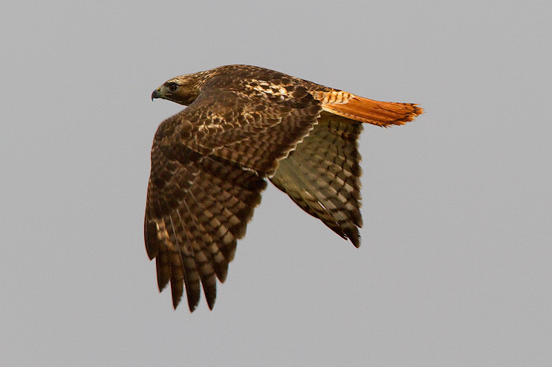 red-tailed-hawk6
