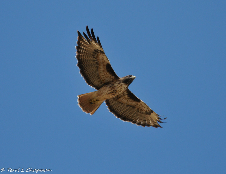 A Red- tailed Hawk in flight
