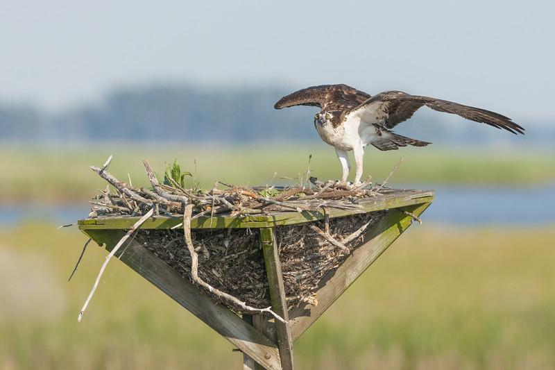 Osprey Wing Stretch