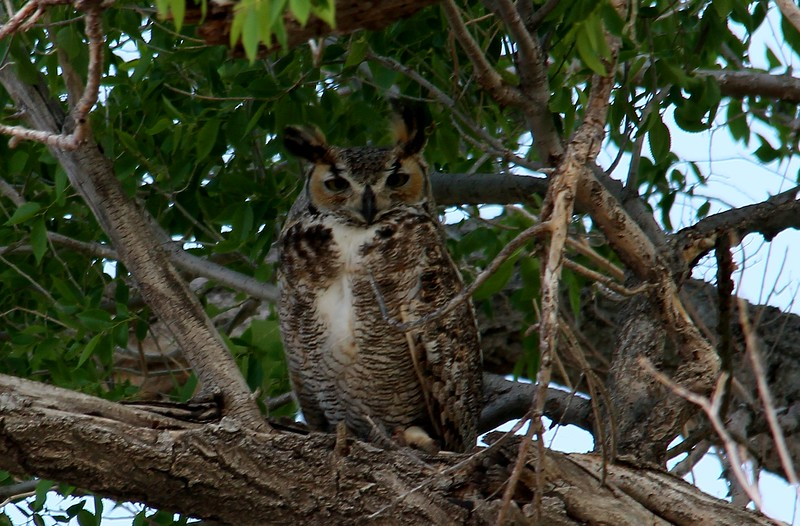 Great Horned Owl (70)