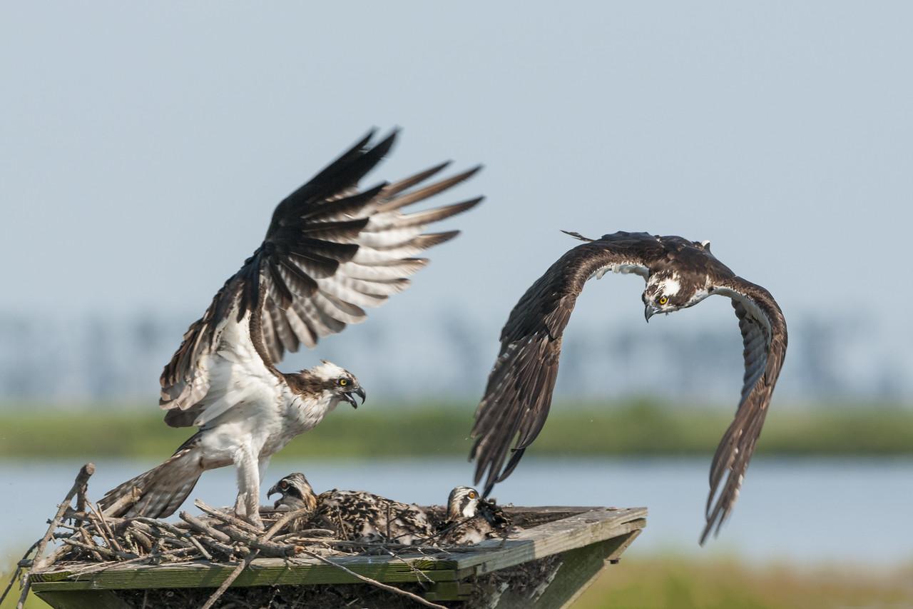 Osprey Mother Driving Off an Intruder