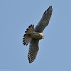 American Kestrel flying over an open field in search for food