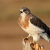 Swainson's Hawk (92)