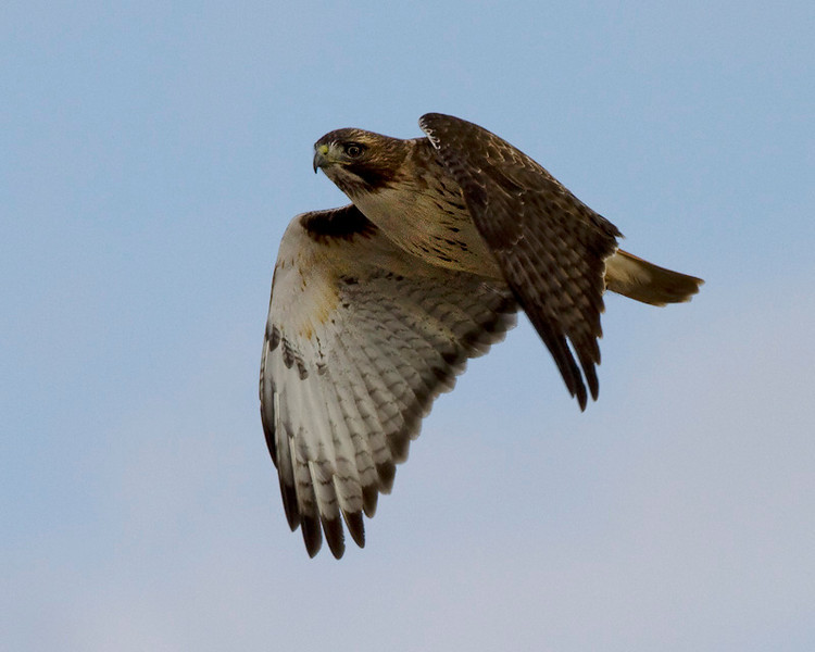 red-tailed-hawk29a