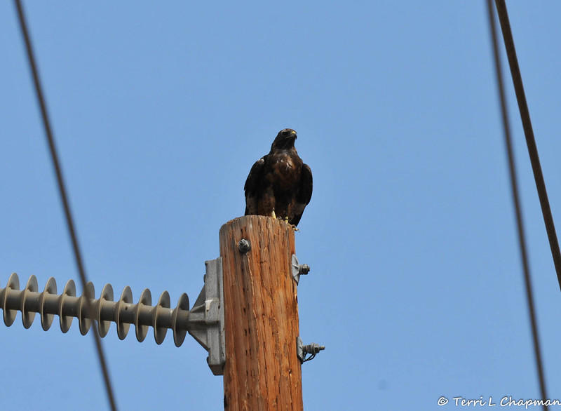 A dark morph Red- tailed Hawk perched on a telephone pole in Malibu, CA