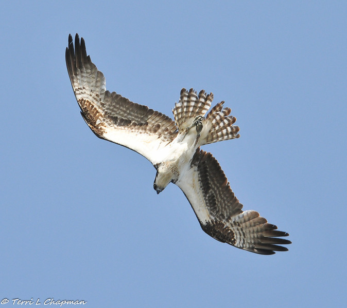 An Osprey diving towards a lake to try and catch a fish