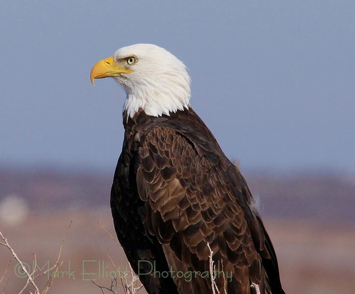 Bald Eagle (306)