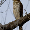 coopers-hawk5-unedited