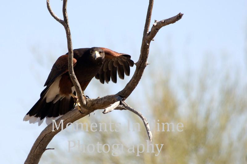 Hawk in dead tree
