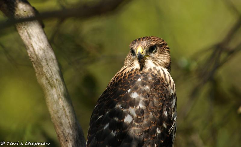 Cooper's Hawk (fledgling)