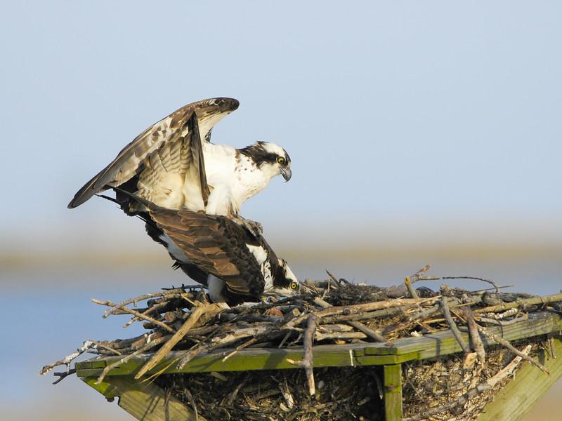 Osprey Pair Mating