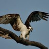 Osprey (63)