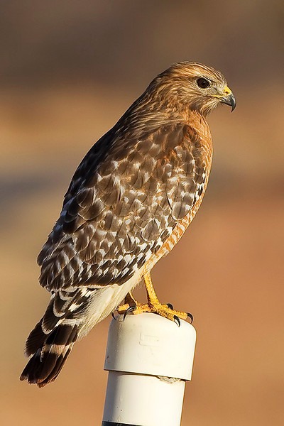 red-shouldered-hawk21