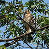 Fledgling Cooper's Hawk calling to his two siblings. They were all fresh out of the nest and learning how to fly.