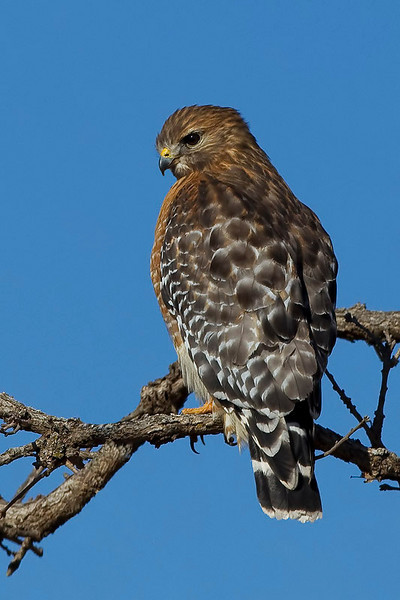 red-shouldered-hawk22