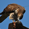 Red-tailed Hawk eating an American coot