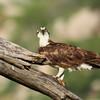Osprey (40)