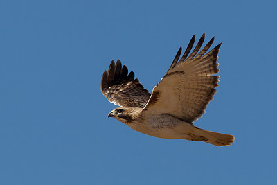 red-tailed-hawk42