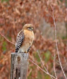 """Red-Shouldered Hawk"" Taken with my 400 f/5.6L Lens+a Tamron 1,4xTC."