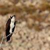 Osprey (24)