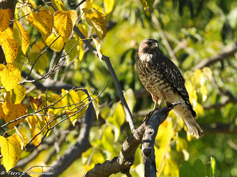 An immature Red-shouldered Hawk