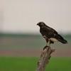Swainson's Hawk (120)