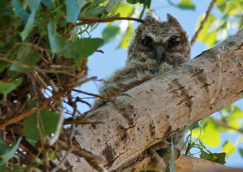 Great Horned Owlet (37)