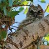 Great Horned Owlet (37)