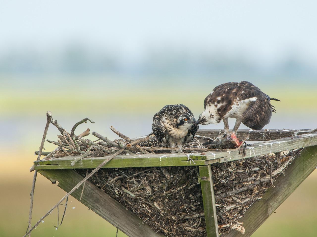 Osprey Mother Feeding Her Chick