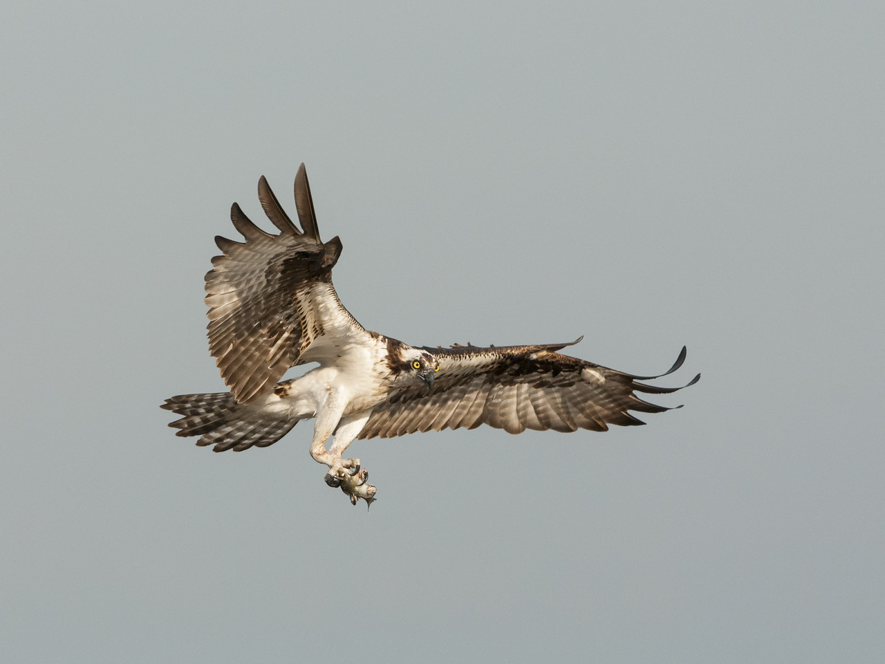 Osprey In Flight with Fish