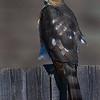 coopers-hawk2