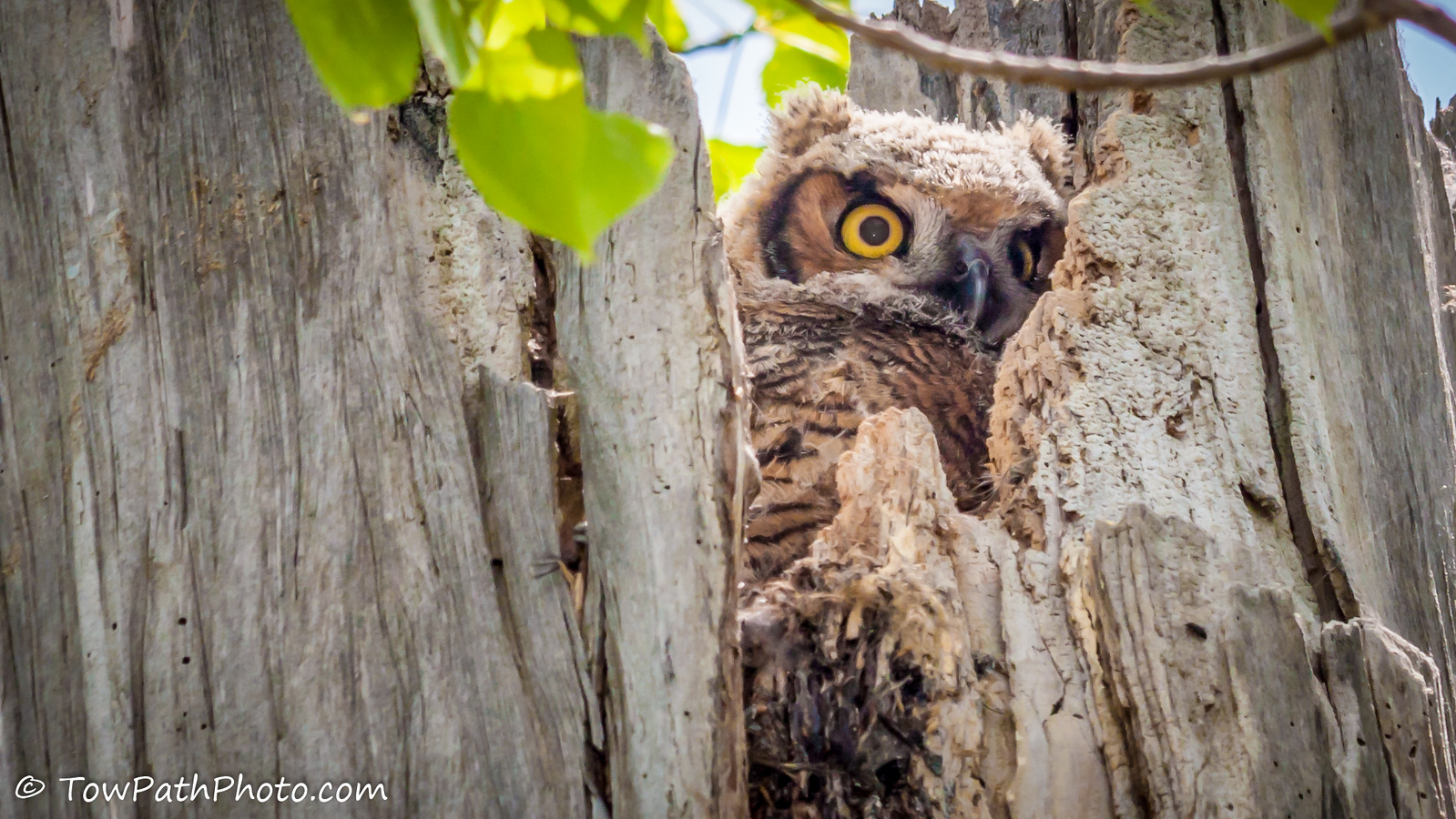 Great Horned Owl (Juv)