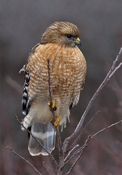 red-shouldered-hawk1b