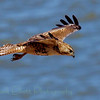 Red-tailed hawk (52)