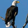 eagle19