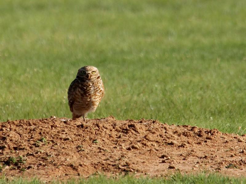 Burrowing Owl (6)