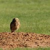 Burrowing Owl (6)