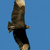 black-vulture1