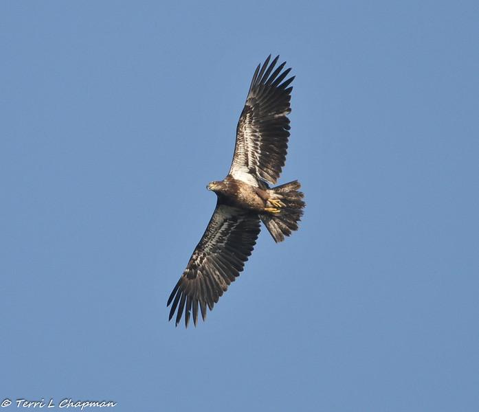 A Bald Eagle (juvenile) photographed in San Dimas, CA