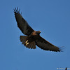 A dark morph Red- tailed Hawk in flight