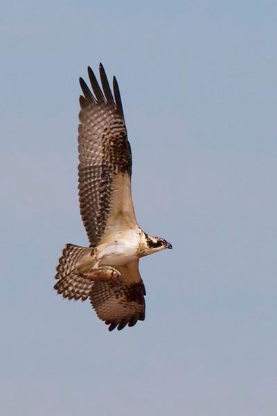 osprey11