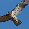 red-tailed-hawk36