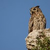 Great Horned Owl (83)