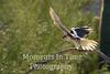 Falcon prairie ( falco mexicanus)