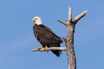 Bald Eagle - Perched in a Snag