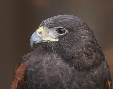 Harris Hawk - (Captive)