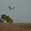 A Northern Harrier scanning the field for a meal